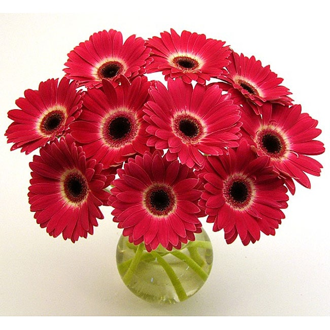 Gerbera Daisy Arrangements Vases: (Pre-Order) Hot Pink Gerbera Daisies And Vase