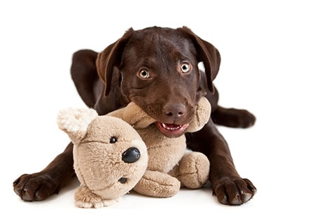 puppy with teddy bear